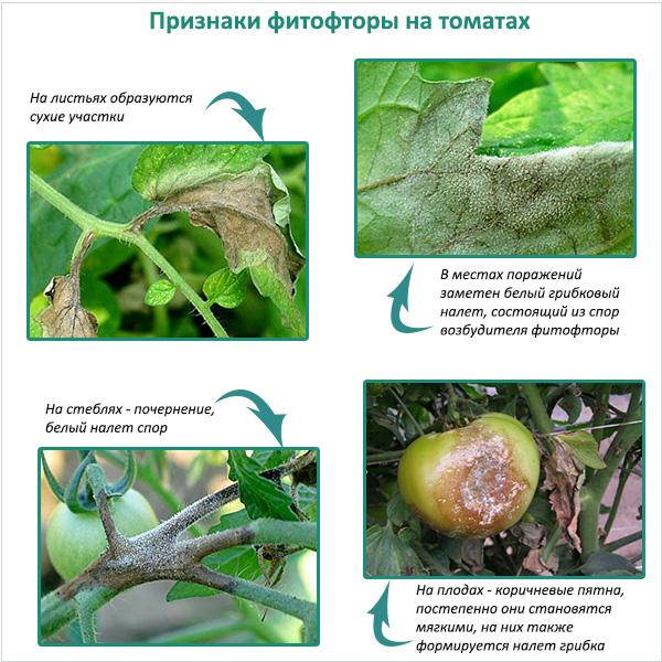 Признаки фитофторы на помидорах