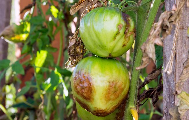 Фитофтора уничтожает не только ботву, но и плоды помидоров