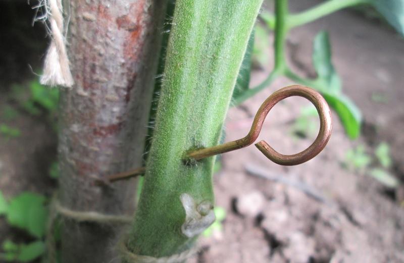 Медной проволокой прокалывают стебель помидор для защиты от фитофтороза