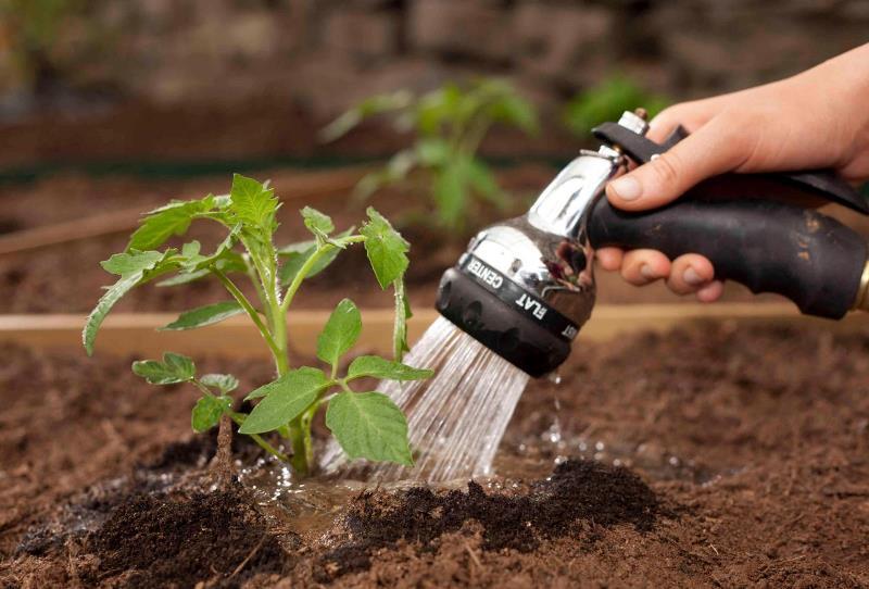 Полив томатов под корень - профилактика фитофторы