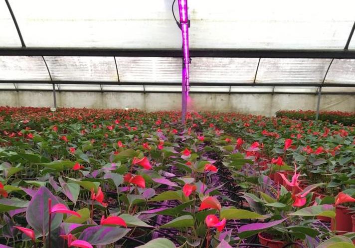 Дополнительное освещение позволит антуриумам обильно цвести даже зимой