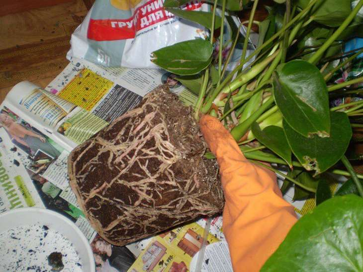 Вынимать корни антуриума из старого горшка нужно аккуратно