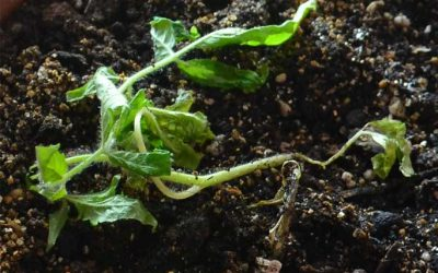 Черная ножка у рассады томатов: что делать и как бороться с коварным заболеванием