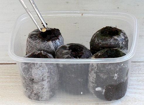 Посев семян перца в торфяные таблетки