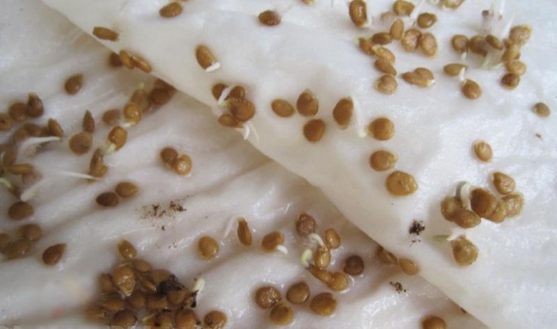 """На влажной ткани семена перца быстрее показывают """"носики"""", чем в грунте"""