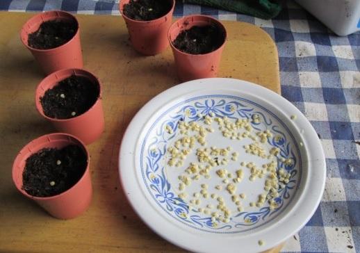 Посев семян перца в отдельные горшочки