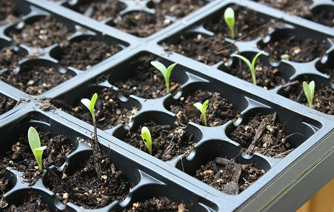 Первые ростки календулы появляются уже на 4-7 день после посева