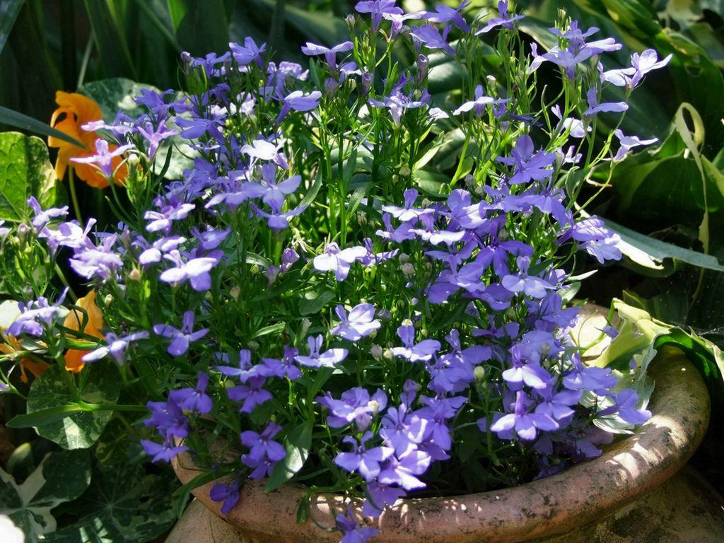 Лобелия - декоративное растение из семейства колокольчиковых