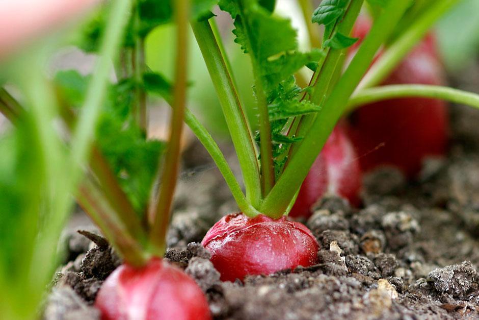 Выращивание редиса - фото