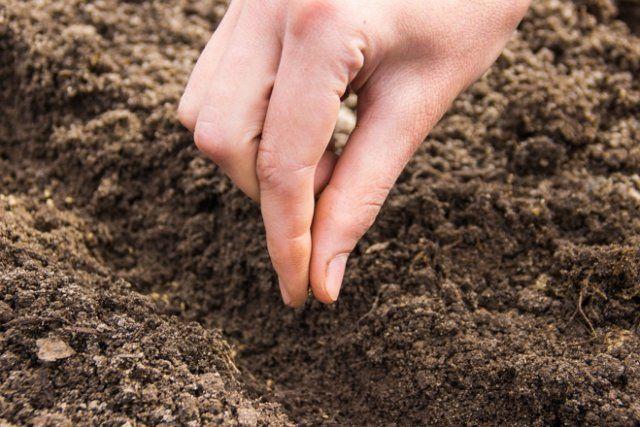 Посев семян редиса в неглубокие бороздки