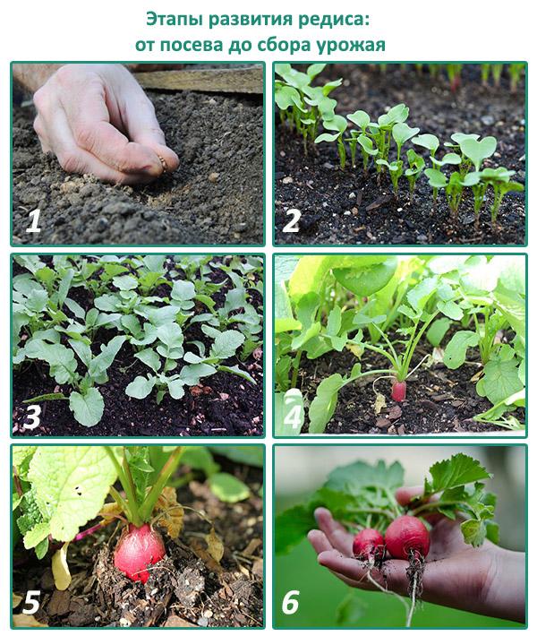 Когда собирать семена редиса: подробное руководство