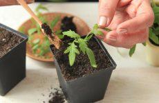Пикировка рассады томатов: правила пикирования помидоров + уход после пикировки