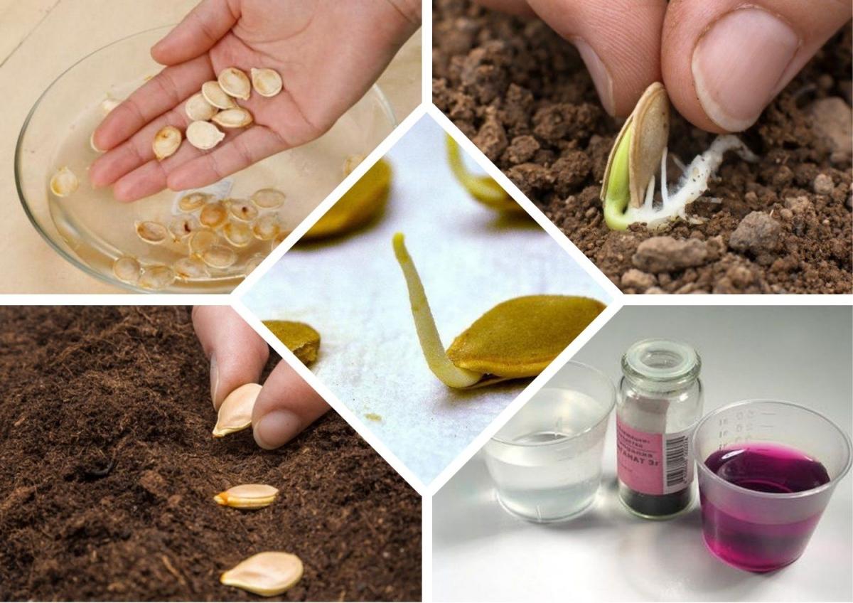 Подготовка семян к посеву - фото