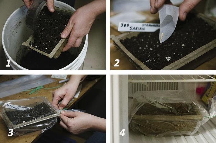 Охлаждающая подготовка семян - стратификация