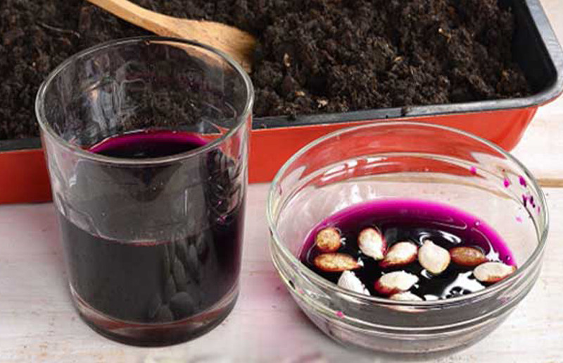 Обработка семян тыквы в марганцовке