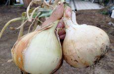 Лук Эксибишен: выращивание из семян на рассаду, сроки посадки