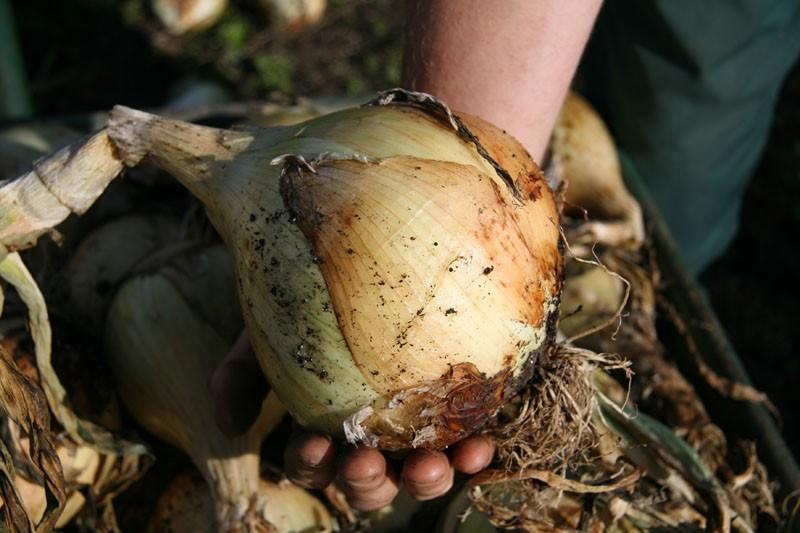 Посадка семян лука Эксибишен на рассаду позволяет получить по-настоящему крупную репку