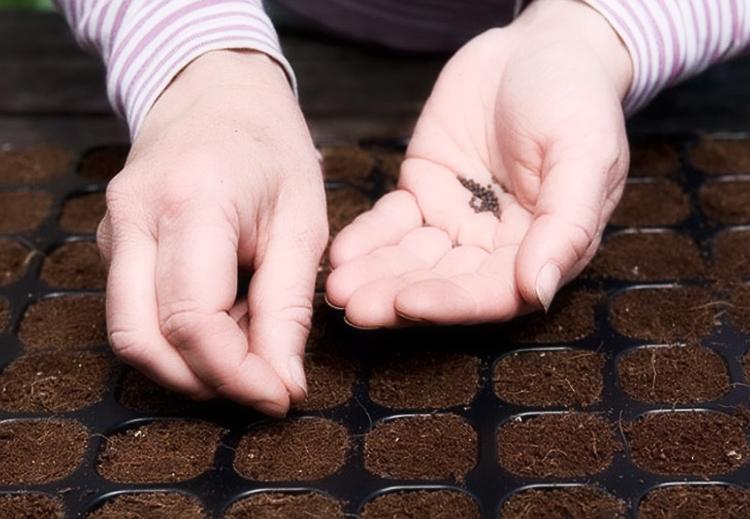 Посадка семян лука Эксибишен в кассеты