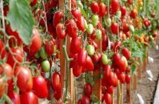 Томат Джекпот — новый высокоурожайный сорт с отменным вкусом