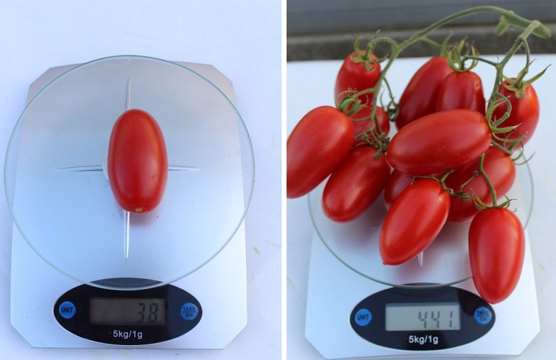 Каждый помидор Джекпот весит около 40-50 г