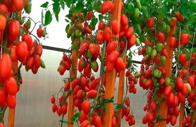 Плодоношение томата Джек пот