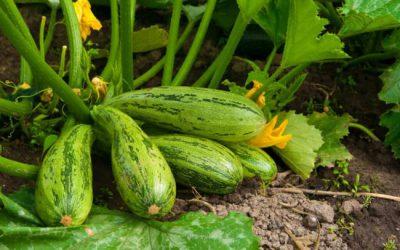 Кабачки: посадка семян, выращивание и уход в открытом грунте