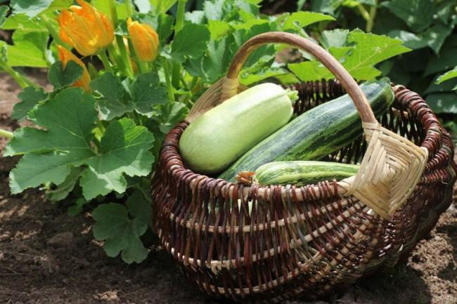 Урожай кабачков можно собирать все лето