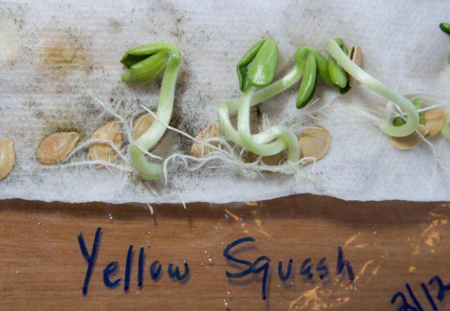 Семена кабачков проросли во влажной салфетке