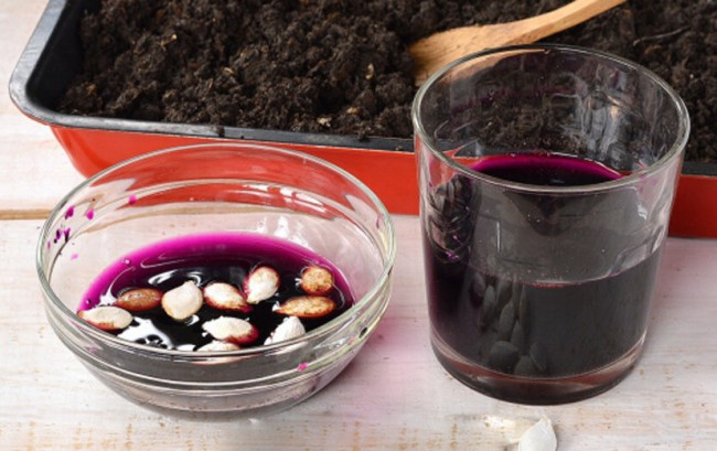 Семена кабачков выдерживают в крепком растворе марганцовки