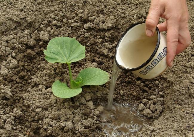 Вода при поливе не должна попадать на листья кабачков