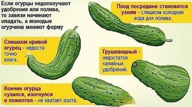 Изменение формы молодых огурцов при дефиците питательных веществ