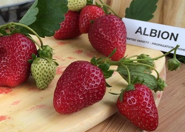 Ремонтантный сорт - клубника Альбион