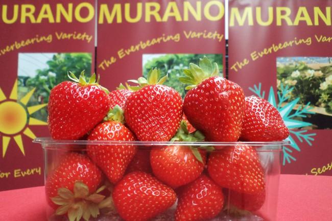Ремонтантный сорт клубники Мурано