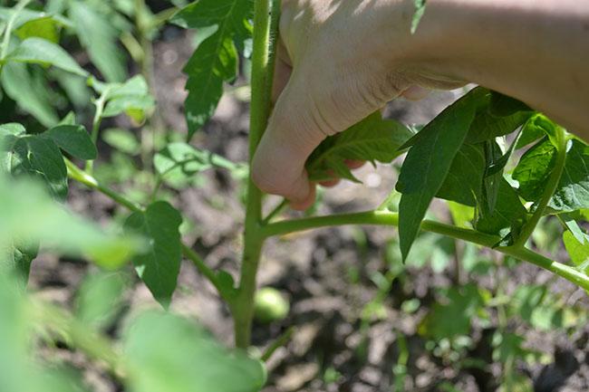 Отщипывание пасынка на томате вручную