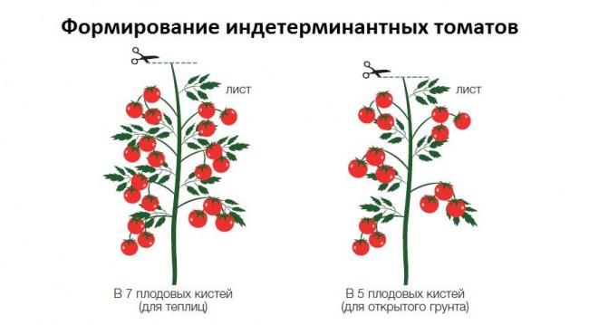 Формирование индентерминантных томатов - схема