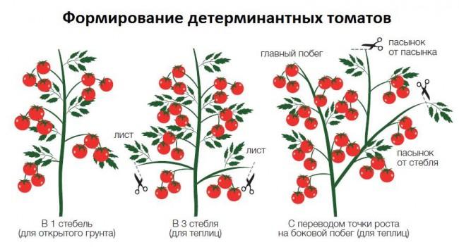 Способы формирования детерминантных томатов - схема