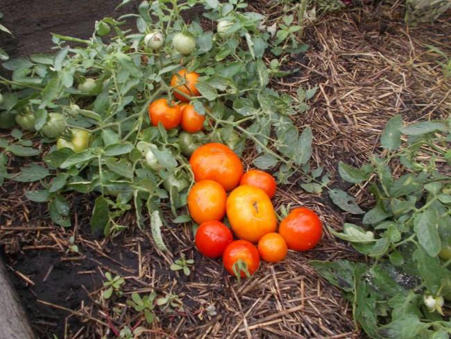 Супердетерминантные сорта томатов пасынковать не нужно
